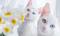 GALERII: Millised on maailma kauneimad kassid?
