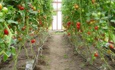 Tomatid kasvuhoones