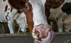 Eesti on keskmise piimatoodangu poolest lehma kohta Euroopas Taani järel teisel kohal, Kõljala farmi lehmad on ka Eesti keskmisest märksa tootlikumad.