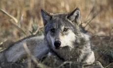 Mis juhtub, kui koer hundiga kutsikaid teeb? Vastuse leiab Eesti metsadest