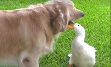 Omapärased sõbrad: neile ei lähe üldse korda, et üks neist on hani ja teine koer
