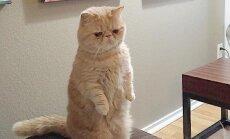 Saa tuttavaks: Goerge, rõõmsameelne kass, kes veedab oma elu kahel käpal seistes