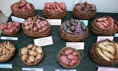 Eesti kartulisordid, Maaviljeluse Instituut, Saku