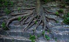 juured