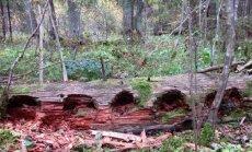 Leili metsalood: Kuusikud, mida ei tohiks enam olla