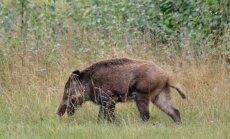 Saaremaal leiti teine katku surnud siga