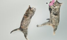 Miks kassid alati käppadele kukuvad ja kas kukkumine võib saatuslikuks saada?