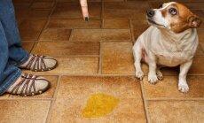 """Koer vaatab sulle """"süüdlasliku"""" ilmega otsa? Vaatame, mis selle emotsiooni taga tegelikult on"""