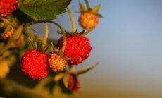 Rippmaasikas 'Toscana' annab rõdul saaki suve algusest külmadeni