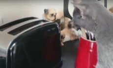 Humoorikas VIDEO: Naera või pisar silma! Vaata, mis juhtub, kui kassid ja röstrid kokku satuvad