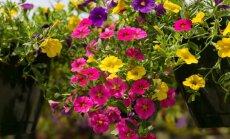 Värviküllane aed-puispetuunia lillesülem amplis.