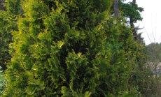 Harilik elupuu 'Yellow Ribbon' Tallinna Botaanikaaias