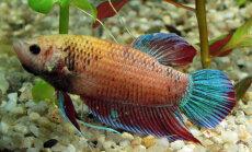 Koera asemel hoopis kalad? Siiami tapluskala õpib peremeest ära tundma ja jälgib huviga kõike, mis toimub väljaspool koduakvaariumit