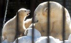Jääkarupäev Tallinna loomaaias