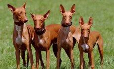Õnnelik leid: pühapäeval kaduma läinud 4-kuused vaaraokoera kutsikad leiti 20 tundi hiljem tervena
