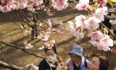 Kirsside õitsemine tähendab Jaapanis rahamasinat