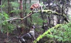 Üliarmas VIDEO: Rebane Sniffer ja koer Tinni — soe sõprus paksus metsas, inimasustusest eemal
