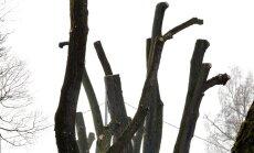 Selliselt pügatud puid võib praegu näha Tallinnas Ristiku tänaval. Köndistamine toimus seal umbes kuu aega tagasi.