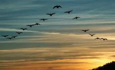 Täna on sirgupäev, mil rändlinnud asuvad kevade saabumise puhuks koju tagasi pöörduma