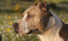 Vääriti mõistetud: koeratõud, keda peetakse tigedaks on tegelikult kaitsvad ja ustavad sõbrad