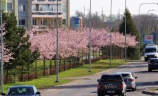 Jaapani kirsipuude allee