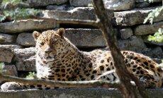 KAASTUNNE: Tallinna Loomaaias suri armastatud amuuri leopard Freddi