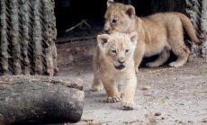 VIDEO: Kolumbia ja Peruu tsirkustest päästeti 33 lõvi