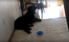 VIDEO: Iga kord, kui koer oma lemmiklaulu kuuleb, teeb ta midagi kummalist