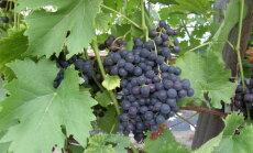 Kodumaised viinamarjad on väikesed ja hapud? Üldsegi mitte, aga mine ja maitse ise!