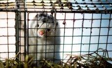 Tallinnas toimub rahvusvaheline rongkäik karusloomafarmide keelustamise toetamiseks