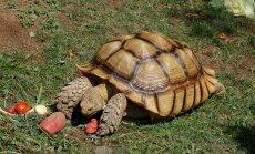 Maailma kõige pentsikum lemmikloom? Jaapanlase roosas kleidikeses kilpkonn naelutab pilke