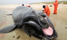 Mida teha hiiglasliku vaalakorjusega rannal (igatahes, ära seda õhku lase)