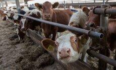 Kõljala Põllumajanduse osaühing,lehm, lehmad,vasikas, vasikad