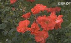 KODUSAADE: Müstilised Inglise roosid Põltsamaa Roosiaias