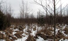 Leili metsalood: Üheksa aastat pärast lageraiet - võõras käib korra üle, lõikab puud maha, viib kaasa ja rohkem enam ei tule