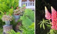 AIAHOOLIK | Kauaoodatud lupiin, imelised lõhnad ja kuidas rohelistest kiusjatest taimesõbralikult lahti saada