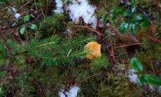 FOTO: Kukeseeni leidub metsas ka jõulude ajal