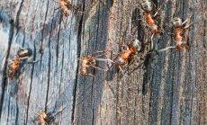 Näljaga aitab ka sipelgas süüa