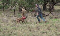 VIDEO: Koera rünnanud känguru sai inimeselt lõuahaagi