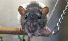 Rotihuvilistele: võrreldes rändrotiga on kodurotil keeruline iseloom ja tava käituda kui krutskeid täis teismeline