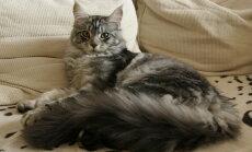 Kassimaailma heasüdamlikud hiiglased: mõned huvitavad faktid main coon tõugu kasside kohta