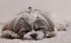 9 koeratõugu, kes hindavad pikki filmimaratone ja hommikust und