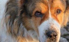 """FOTOD: Mähel """"tapjakoerteks"""" nimetatud kolm koera püsivad elus vaid naabrite armust"""