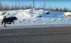 Haruldane vaatepilt: naine filmis kahte massiivset hunti täiskiirusel tema auto kõrval jooksmas