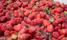 Dumping Eesti moodi: Läänemaa maasikakasvatajad pelgavad Jõgeva müüjat