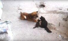 Südamlik VIDEO, mis teeb meele härdaks: vaata, kuidas kassiema koerale esimest korda oma poegi tutvustab