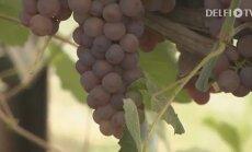 KODUSAADE: Viinamarjad Eesti kliimas — kuidas kasvatada
