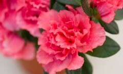 2.Simsi rododendron ehk asalea