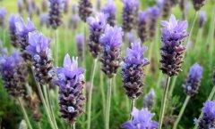 Aroomiteraapia põnevad saladused: lavendli erinevad liigid ja nende kasutamine