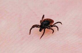 В сентябре в Эстонии клещевым боррелиозом заразились 443 человека